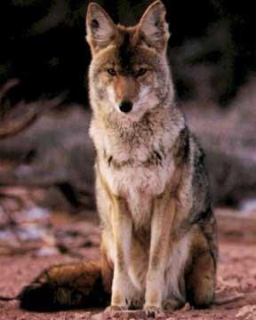 """""""coywolf"""" un nouvel hybride naturel Le coywolf, fruit des amours entre le coyote de l'ouest (Canis latrans), le loup de l'est du territoire américain (Canis lycaon) et le chien (Canis lupus familiaris)"""