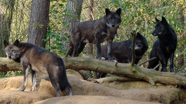 Les loups noirs ont du chien, Si certains loups ont le pelage noir, ce serait grâce aux chiens, selon une nouvelle étude génétique.