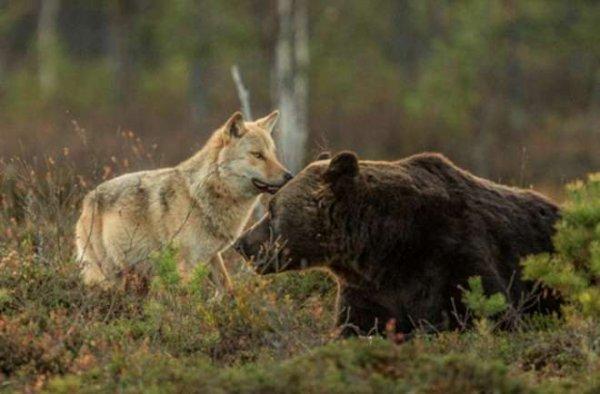 l'envers du décor politique : loups, ours, renards .... Des boucs émissaires des difficultés du pastoralisme ?