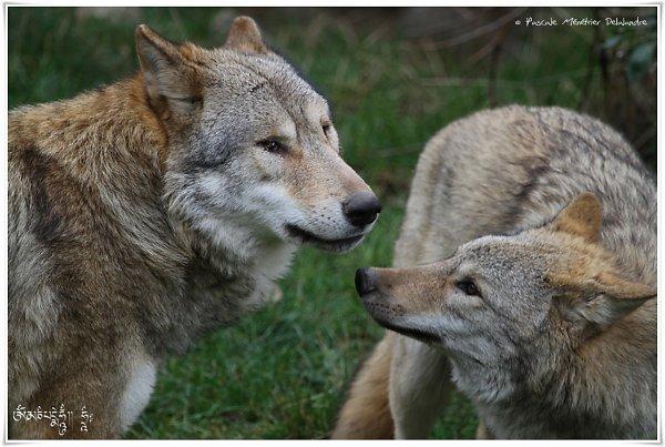 Des loups sauvent des soldats hantés par la guerre