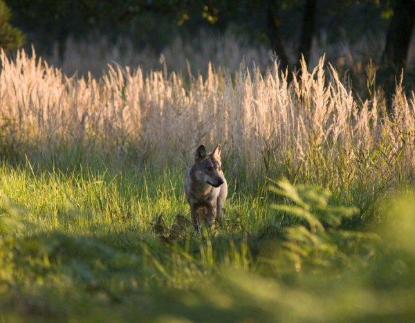 Symbolisme : Le Loup