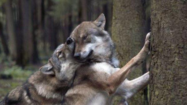 Étude du relâcher de loups (Canis lupus lupus).