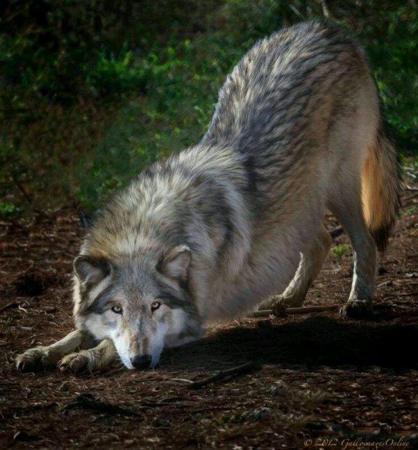 Testez vos connaissances sur le loup normalement les réponses sont dans les articles de mon blog bonne chance !!!
