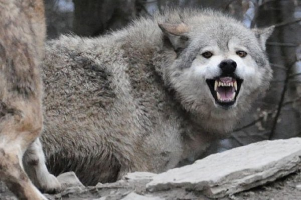 Le loup du Canada (Canis lupus occidentalis) est une sous-espèce de loup gris dont l'aire de répartition recouvre tout l'ouest du Canada ainsi que l'Alaska. Il est également appelé Loup de l'Alberta.