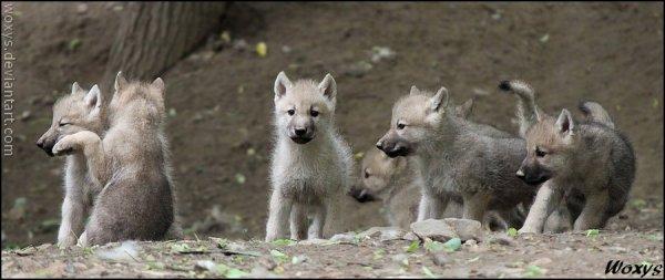 les loups et les humains : Tout comme les loups, nous faisons partie d'une meute dans laquelle chacun ... etc. il y a un parallèle évident, dans le comportement des humains et des loups.