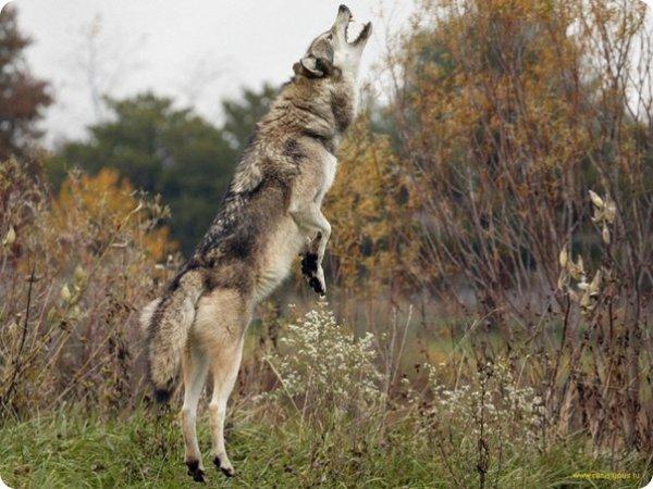 Beaucoup d'intrigues et de questions sont posées sur le Loup  voiçi quelques questions-réponses