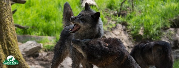 Juste quelqu'un de bien chose rare chez les humains  y en a très peu figurez -vous donc je vous fait un article sur cet éthologue biologiste hors du commun que j'admire beaucoup :  Jean-Marc Landry  une de ces plus belle citation : « Il faut apprendre au loup que la brebis est dangereuse »
