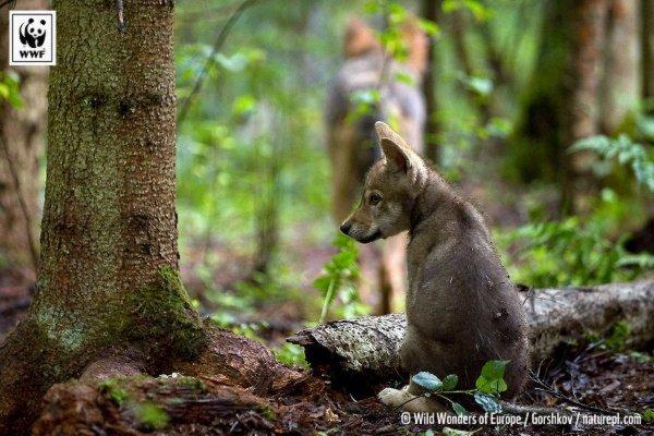 Les loups allemands suivis par GPS    Le suivi par satellite de six jeunes loups allemands a mis en évidence la capacité d'adaptation de Canis lupus aux habitats les plus divers.