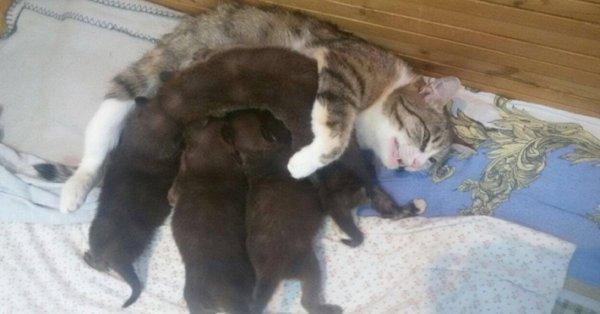 Une chatte formidable, maman d'un lynx et de louveteaux