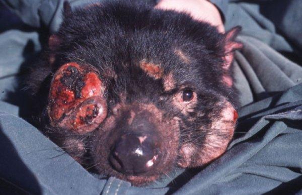 10 maladies qui risquent d'exterminer des espèces entières  : Si l'homme a toujours fait face à diverses affections, il est loin d'être la seule espèce à subir de tels maux. Les animaux, eux aussi, doivent composer avec des maladies en tous genres.