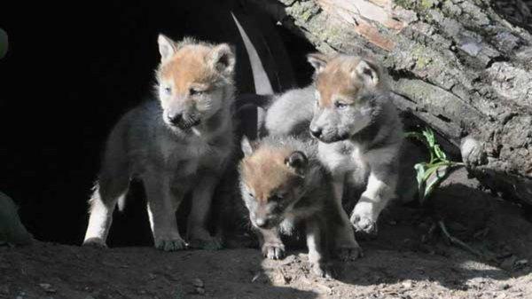 Tous ensemble pour que vive le Loup !!!!!