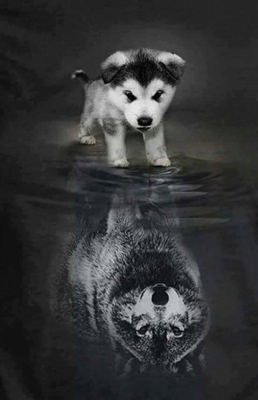 """Comment les traces de loups deviennent """"M30"""" en laboratoire"""
