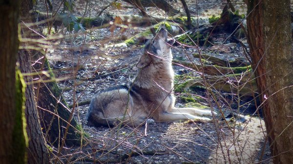 """""""Canis lupus"""", espèce protégée  Impact du loup sur le tourisme"""