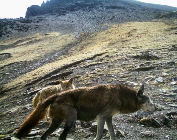 Il existe encore des loups de l'Himalaya