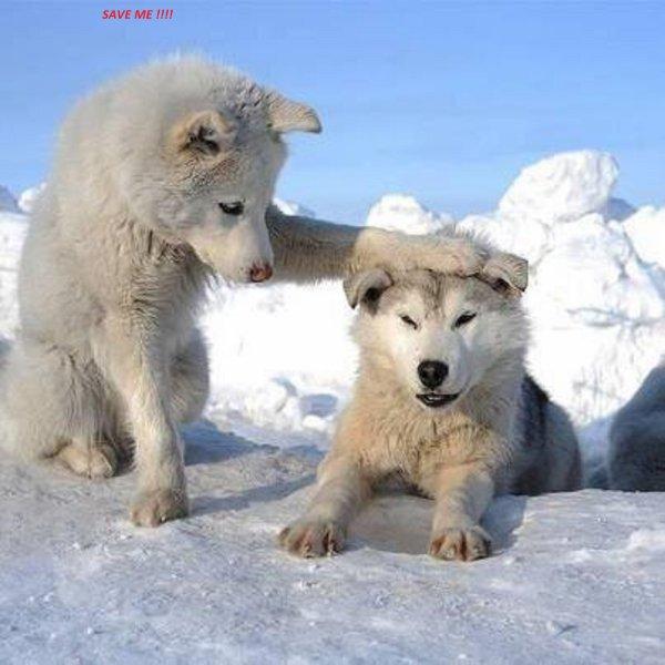 Regardez à quel point les loups enrichissent la biodiversité !!! Les réseaux trophiques ça vous parle ? Il s'agit de l'équilibre de la chaîne alimentaire, ce qui unit un prédateur et sa proie tout en prenant compte de l'environnement végétal qui y réagit.