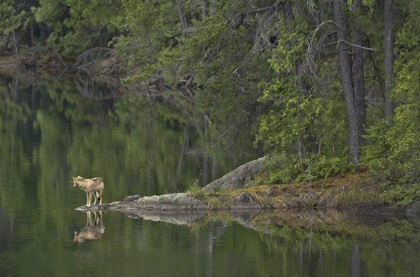 le loup : Un super régulateur écologique -- La coexistence est-elle possible entre l'homme et le loup ???