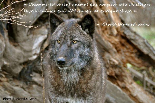Le loup chasse... la maladie