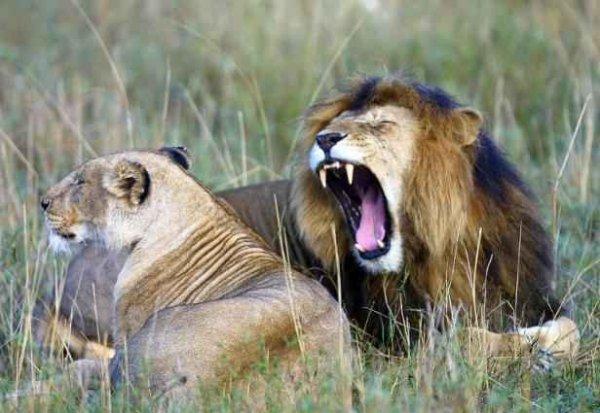 Nature & environnement -  Planète: la disparition des grands carnivores menace l'écosystème