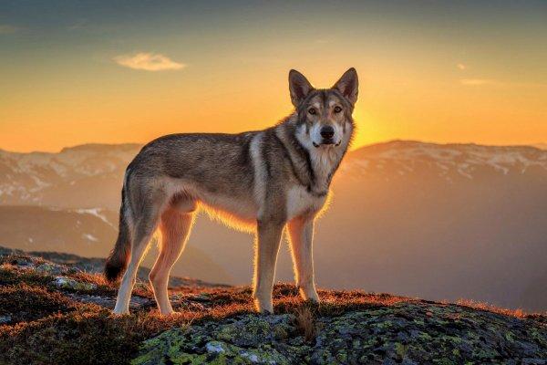 Savez-vous parler le loup ???