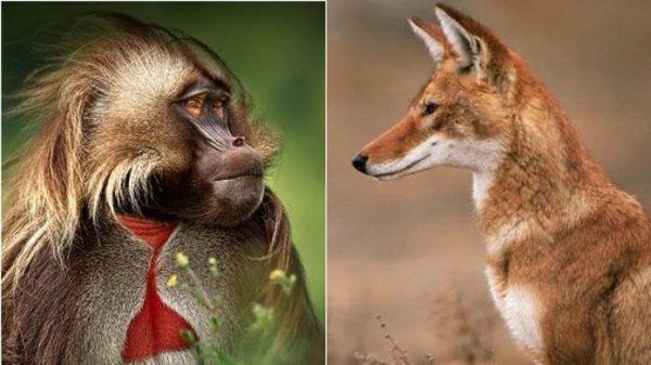 Des loups adoptés par des singes