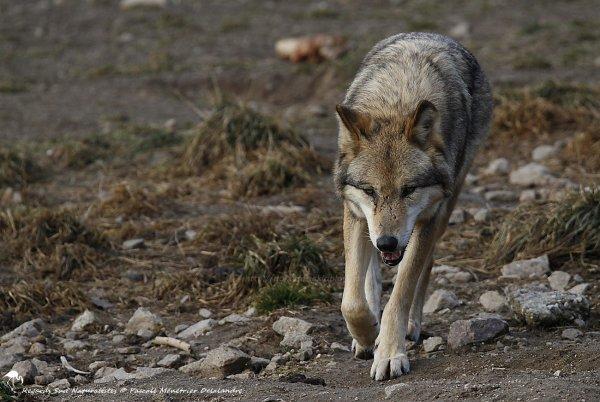 Loup dans la culture européenne