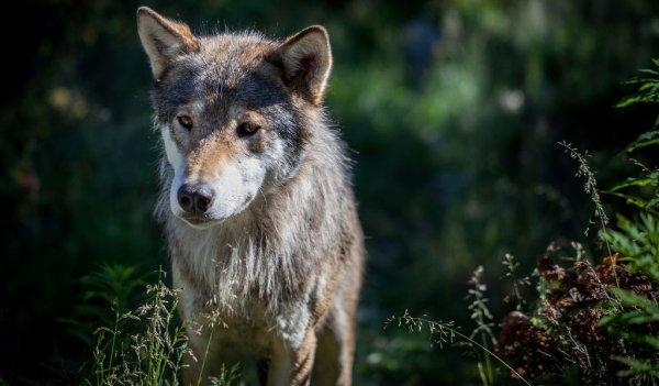 Le loup occupe toutes les religions, il est respecté ,voir vénéré par certains ou craint et rejeté par les autres...