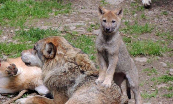 le loup, ce méconnu !!!