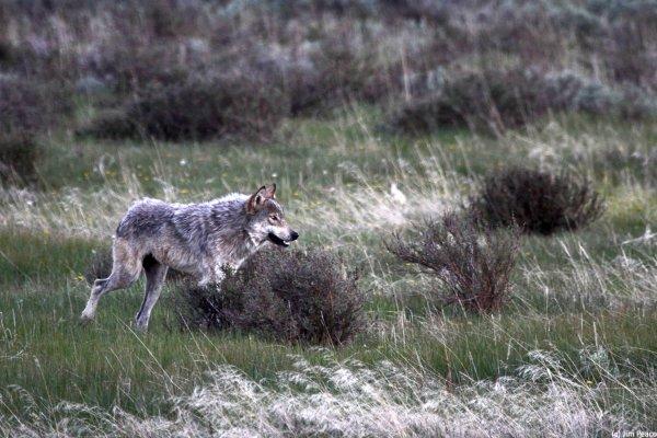 un mâle domine-t-il vraiment la société des loups ... Les meutes de loups n'ont pas de chef.... ???