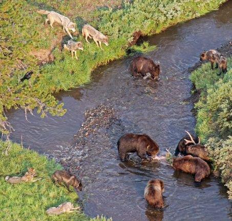 Les alliances entre ours et loups n'affectent pas les proies...