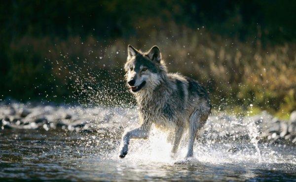 Le printemps des loups...