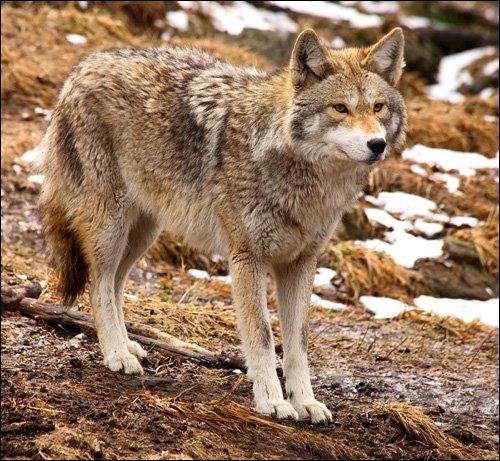 Loup du Manitoba (Canis lupus griseoalbus) Loup Des Prairies :