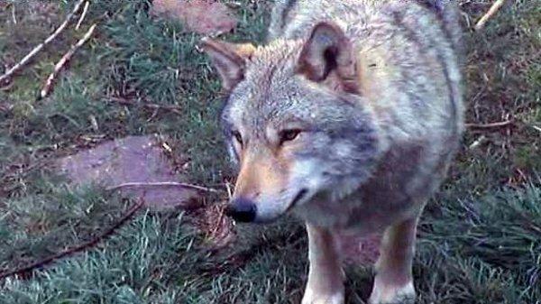 Grande peur du Moyen-Âge... Les loups...