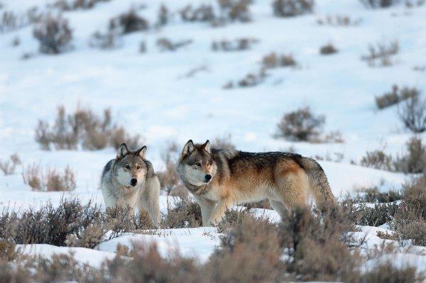 Pourquoi la protection des loups fait débat  La protection des loups dans le monde divise les autorités et les agences de protection de la faune.