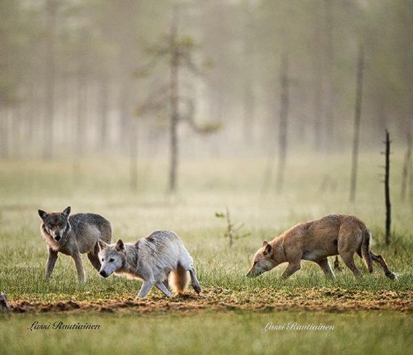 Pourquoi y-a-t-il de jeunes loups dans une meute ???