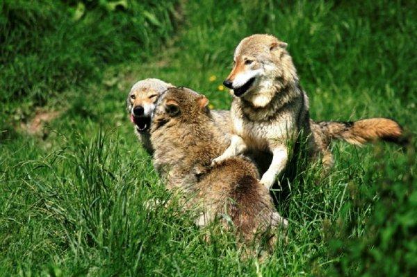 Pourquoi le loup disperse-t-il ???