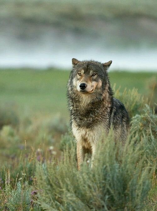 A clouer le bec aux anti loups Pourquoi certains loups quittent-ils leur meute pour parcourir des milliers de kilomètres ? Une odyssée sur les traces de chasseurs infatigables, avec des images à couper le souffle !!!