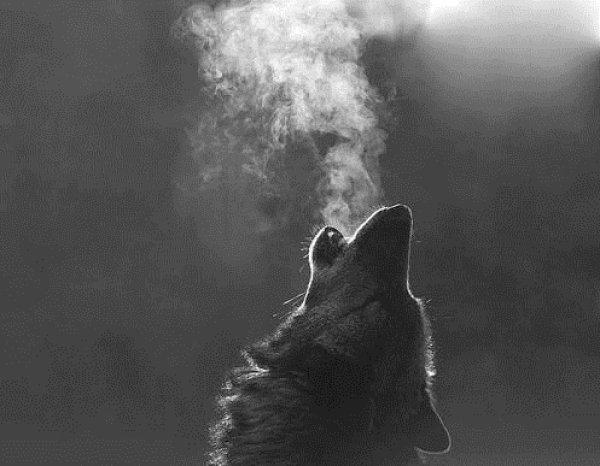 L'incroyable voyage de 2000 km d'un loup à travers l'Europe...