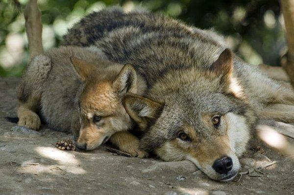 """L'Art dans """"l'être loup"""" : une initiative unique pour faire connaître le loup et le protéger..... article associé :  Le sommeil du chien : la différence avec le loup....."""