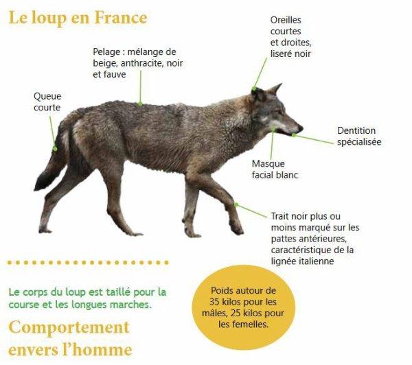 Différences entre l'estomac d'un loup et celui d'un chien...