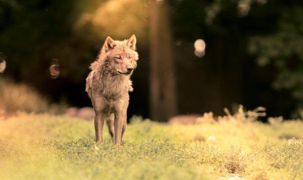 Le loup fait du bien aux forêts suisses Canton des Grisons À l'image de la meute du Calanda, le loup permet aux jeunes arbres de se développer en régulant la population de cerfs et de chevreuils.....