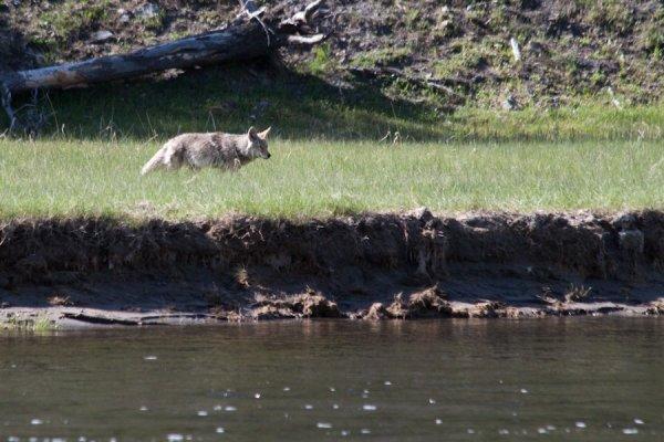 Comment cela a-t-il pu arriver grace aux Loups ??? Regardez et admirez comment la nature fonctionne.