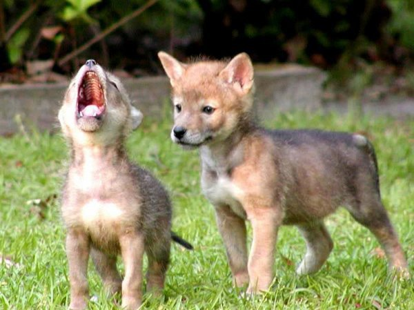 Le hurlement sert à  communiquer avec les membres proches ou lointains de la tribu, mais, également avec les loups rivaux, il a première fonction dans ce cas d'essayer d'éviter le conflit ...