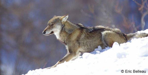 Alpha et Béta : La couleur et le dessin du pelage du loup alpha se distinguent nettement de ceux du loup béta.....