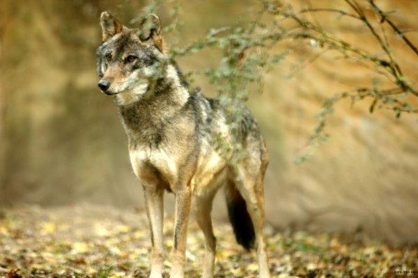Dix raisons pour aimer les loups......  Apprendre a vivre au contacte de la nature...
