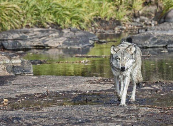 GROS MANGEURS   Les loups Béta généralement les plus forts de la meute ont besoin d'entretenir leur forme parce que la sécurité du groupe dépend d'eux, ils sont autorisés à se nourrir plus que les autres...