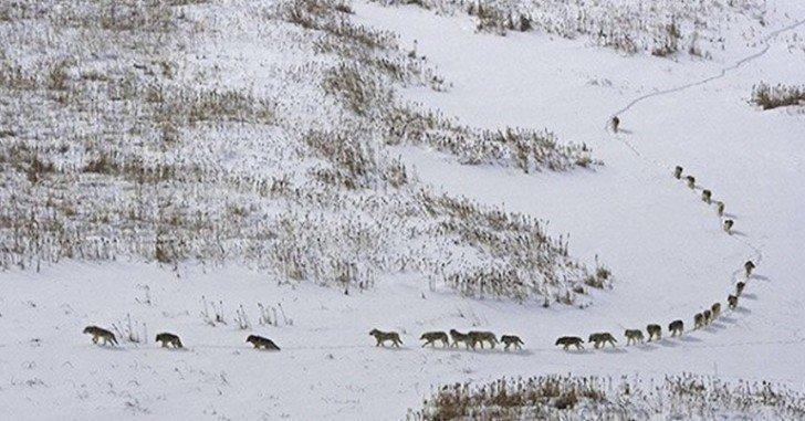 Cette Photo De Loups A été Largement Critiquée, Mais Sa Signification Est Une Grande Leçon Pour Tous....