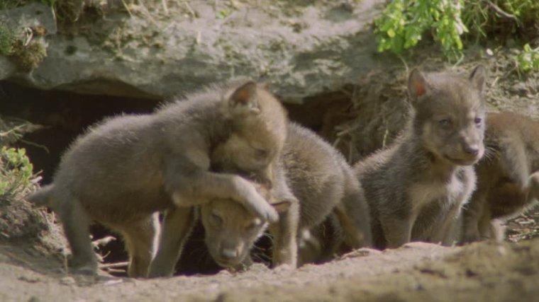 La recherche des petits de loups dans une forêt biélorusse :  une leçon d'histoire naturelle et d'humanité...