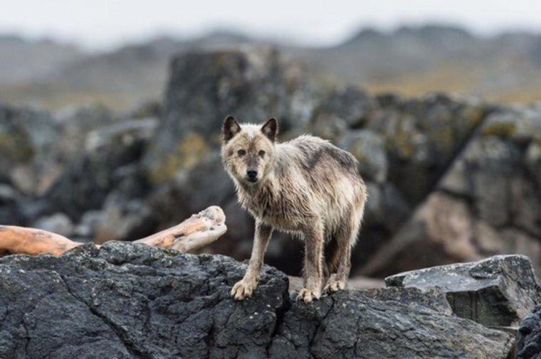 Les loups de mer : Des animaux rares et très mystérieux.... Les loups vivants dans les forêts, les montagnes et les plaines sont des animaux très populaires. Mais peu connaissent ces loups un peu spéciaux...