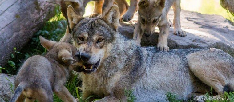 Je serais absente à partir de demain en début d'après midi pendant au minimum 3jours pour raison personnelle.  Je vous publie en attendant mon retour une légende plus que véridique selon ce qui s'est passé à Yellowstone cette légende n'est pas une légende puisque là bas c'est ce que les loups ont éffectué  à méditer  merci .... A bientôt