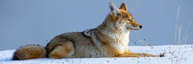Différence entre le renard, le coyote  et le loup...